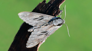 Pine Hawkmoth - Hyloicus pinastri