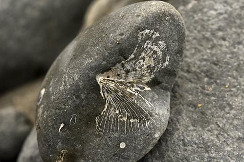 Ammonite fossil 2