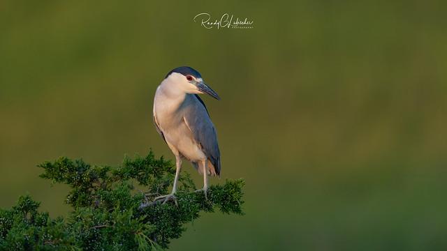 Black-crowned Night Heron - Nycticorax nycticorax | 2019 - 2