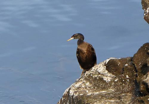 Pelagic Cormorant (Phalacrocorax pelagicus) (Urile pelagicus)