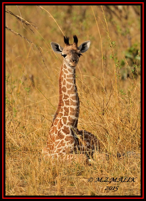YOUNG MASAI GIRAFFES (Giraffa camelopardalis tippelskirchii)...MASAI MARA......OCT 2015 .