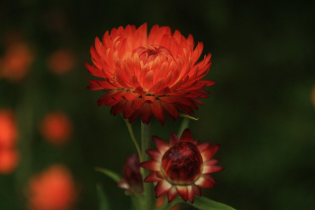 Strawflower on the Allotment