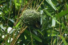 1.31377 Tisserin à tête noire (femelle) / Ploceus melanocephalus dimidiatus / Black-headed Weaver