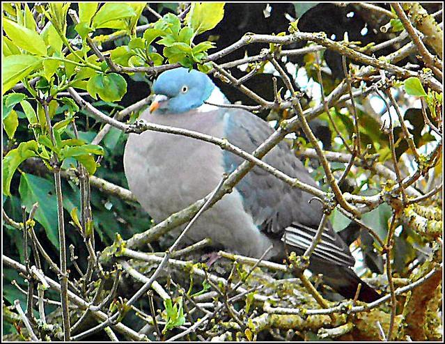Fat Pigeon ..