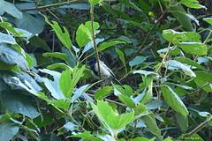 1.20203 Mésange à ventre strié / Melaniparus fasciiventer fasciiventer / Stripe-breasted Tit
