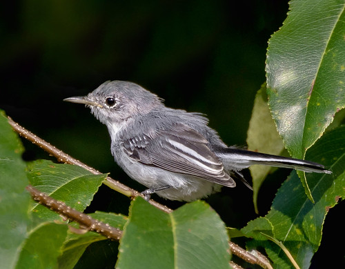 Blue-gray Gnatcatcher (Polioptila caerulea) - Baxter Pond Preserve South, North Salem, New York, USA