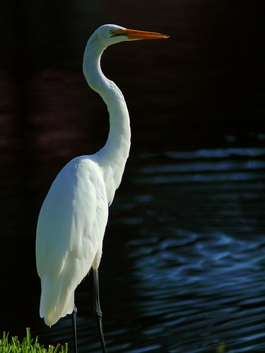 Great Egret 01-20190730