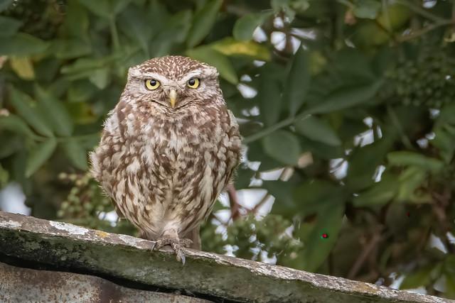 Little owl - Isleham, Suffolk