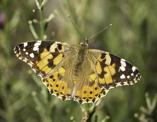 Painted Lady (8) | by ijwilki