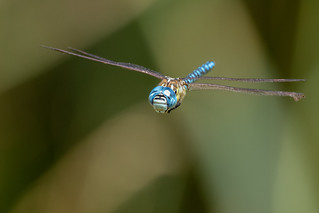 Southern Migrant Hawker or Blue-eyed Hawker for some reason | by PINNACLE PHOTO
