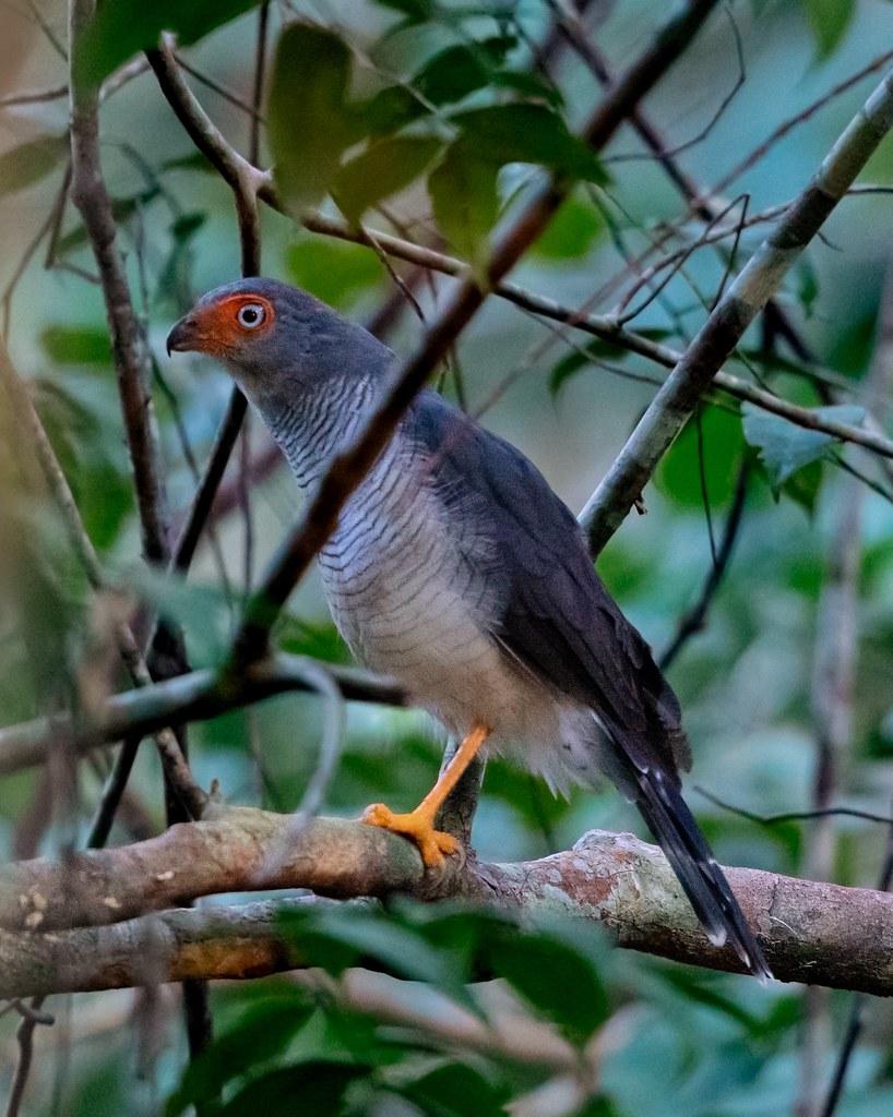 Lined Forest Falcon/Falcão-mateiro/Halcón montés cabecigrís (Micrastur gilvicollis)