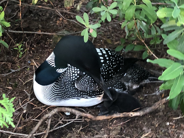 First baby loon hatched today