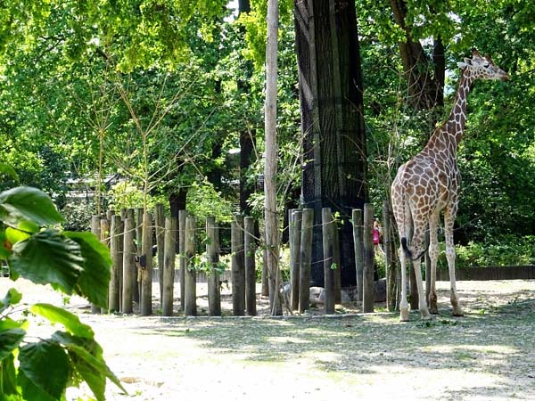 Giraffen_1_Do_11h40_190725