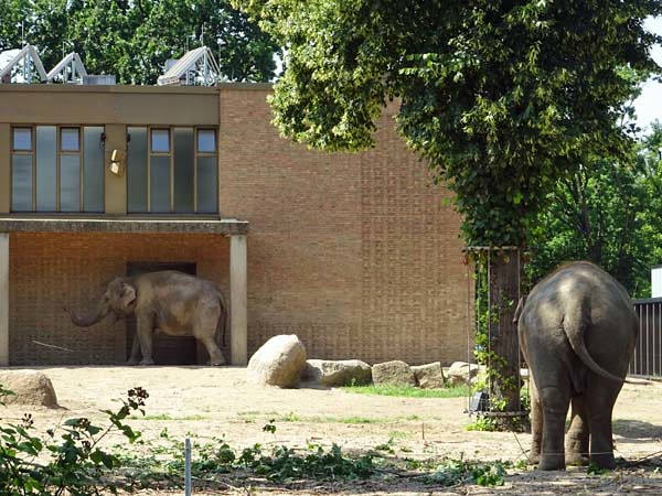 Elefant_Jul19_5_ANCHALIrechts_MamaPangPHAimmerNochMitStattlichemBusen_vomGiraffenHuehnerhausWegAus_Do_14h05_190725