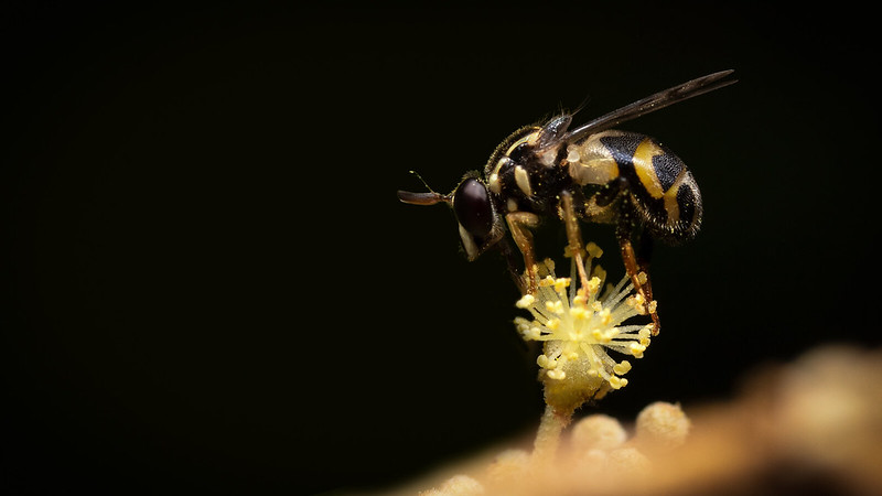 Syrphidae B