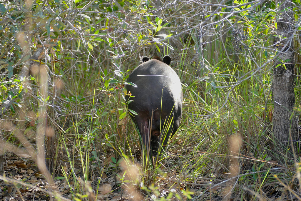 Act two : Follow the Tapir quietly when he (Obviously he's a male !) goes in the forest ...
