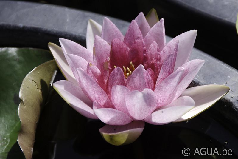 Waterlelie Nymphaea Arethusa / Nymphaea Arethusa