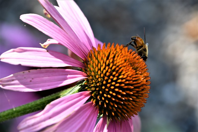 Bee on Echinacea 30.07.2019