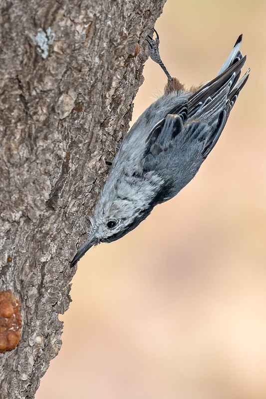 White-breasted-Nuthatch-4-7D2-072119