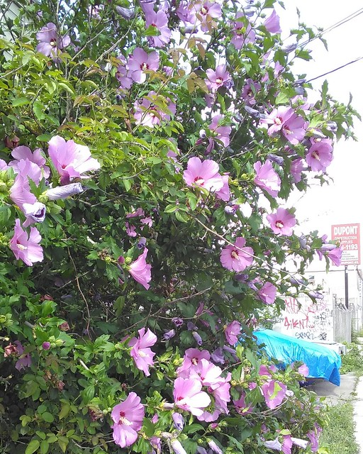 Roses of Sharon by Dupont #toronto #dovercourtvillage #dupontstreet #flowers #rosesofsharon #purple #violet
