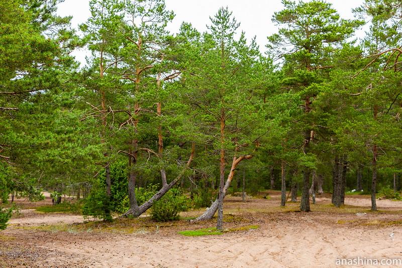 Финский залив, Карельский перешеек, сосны