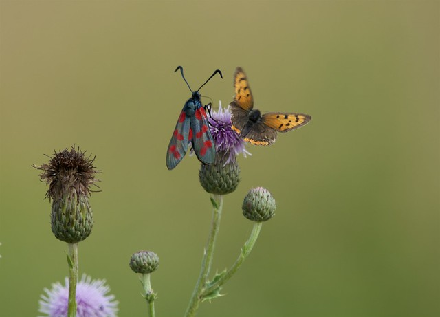 Six-spot burnet Moth & Small Copper Butterfly