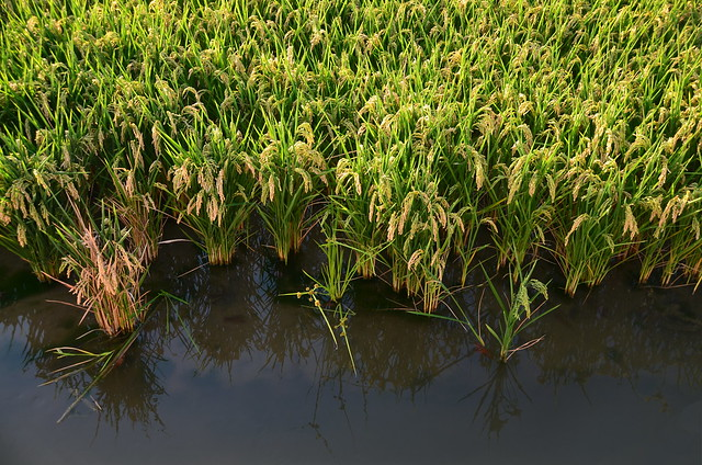 Young rice crops