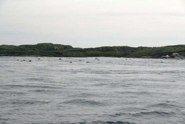 Seals at the Farne Islands