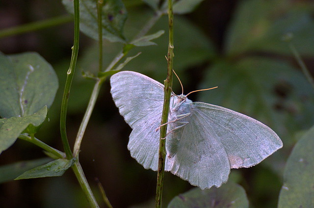 Hiidvaksik; Geometra papilionaria; Large Emerald