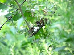 hidden sparrows
