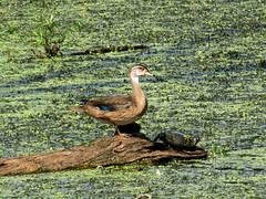 juvie wood duck