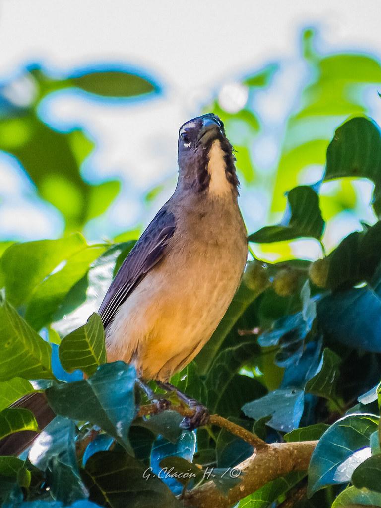 Saltátor Grisáceo, Saltator coerulescens, , Grayish Saltator