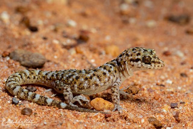 Heteronotia bionei (Bynoe's Gecko)