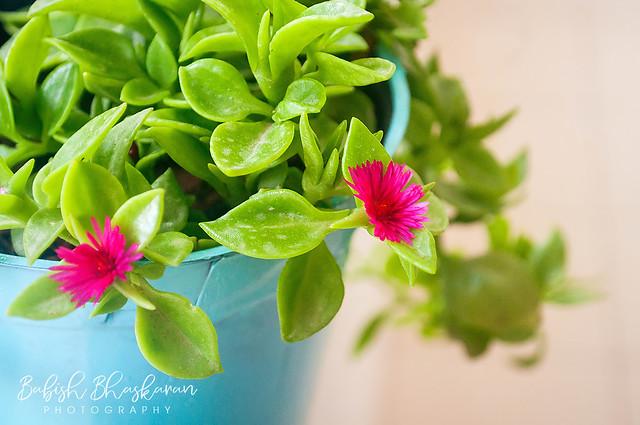 Heart Leaf Ice Plant /  baby sun rose / Aptenia cordifolia