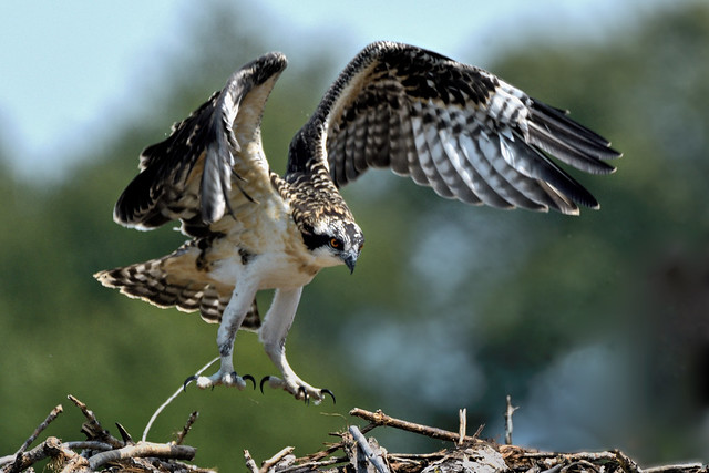Juvenile  --- Balbuzard ------- Aigle pêcheur ------ Osprey ---------       águila pescadora