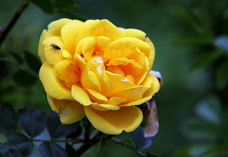 The flies on the yellow rose. | by irio.jyske