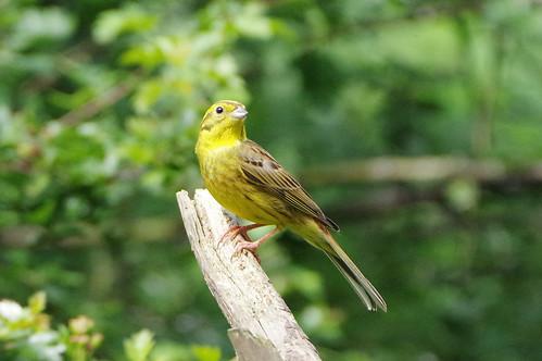 emberizacitrinella norfolk bird nature wild wildlife yellowhammer