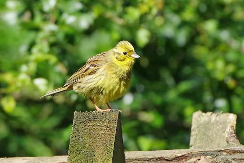 norfolk bird nature wild wildlife yellowhammer emberiza citrinella