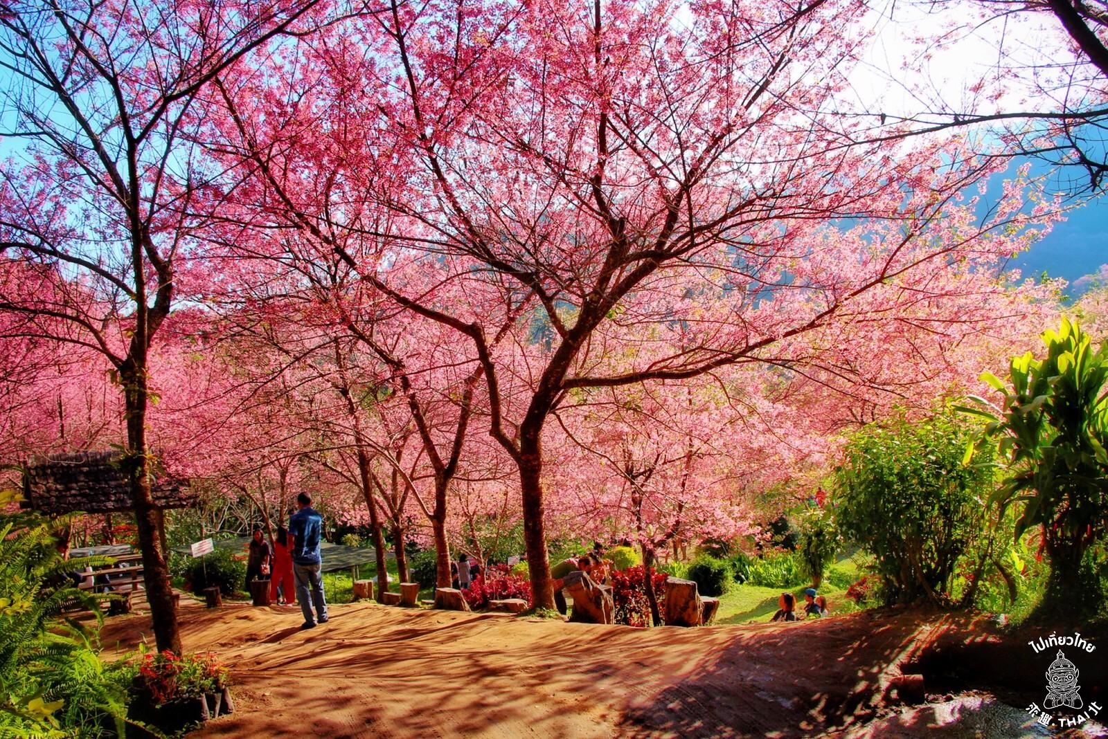 粉紅限定~泰北專屬 『清邁.櫻花季』