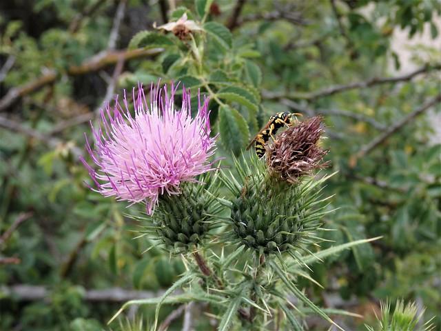 La flor de cardo y la avispa.