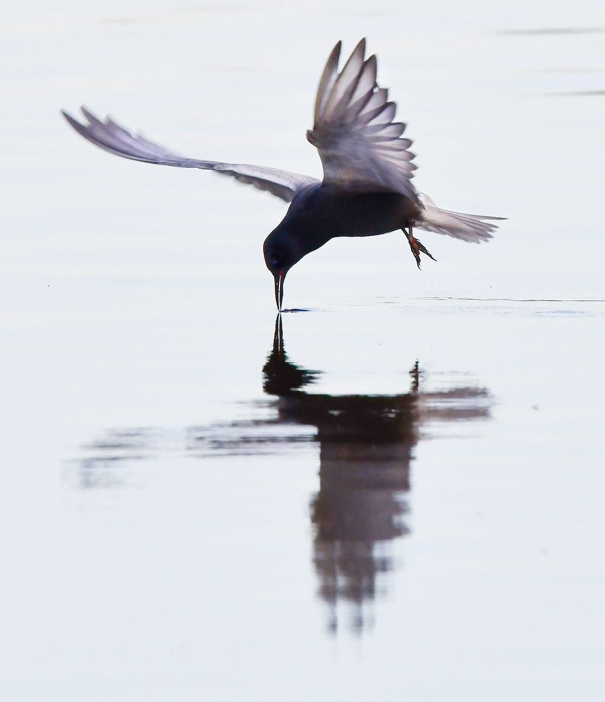 Black Tern ???