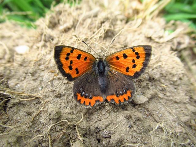 Butterfly 1827