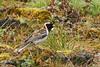 Lapland Longspur, Lapland Bunting (Calcarius lapponicus) (Calcarius lapponicus alascensis)