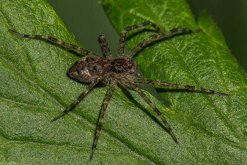 Dark fishing spider [Dolomedes tenebrosus]