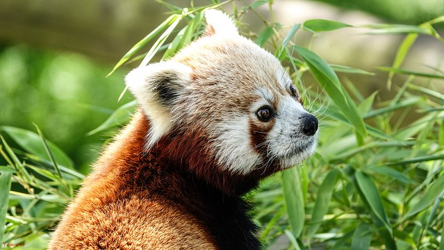 Portrait red Panda - 7163