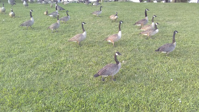 Geese on the lawn #toronto #marilynbellpark #green #grass #lawn #birds #canadagoose