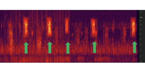 Le Conte's Sparrow songs on a spectrograph