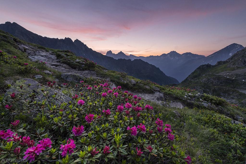Alpine roses at dawn - Leutschachhütte