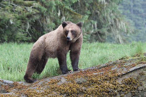 Grizzly bear in the rain