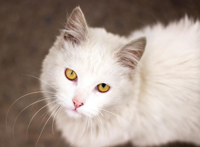 CAT - Gato de ojos distintos